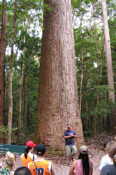 Satinay Tree - Fraser Island