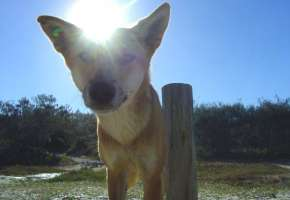 Dingo in the SUN